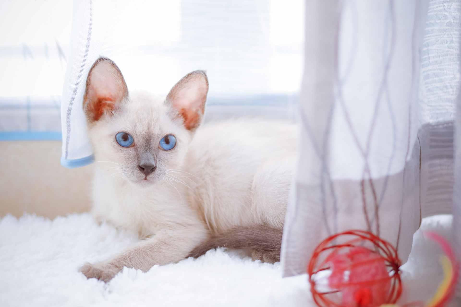 暹罗猫能活18年之久