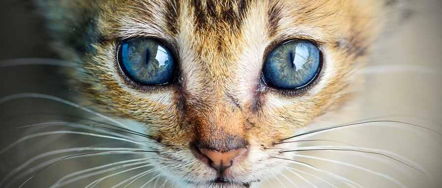 十大名贵猫