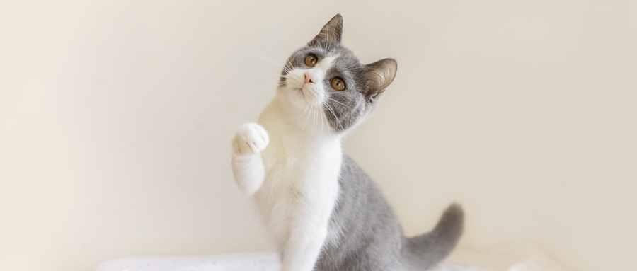 十大新手最好养的猫