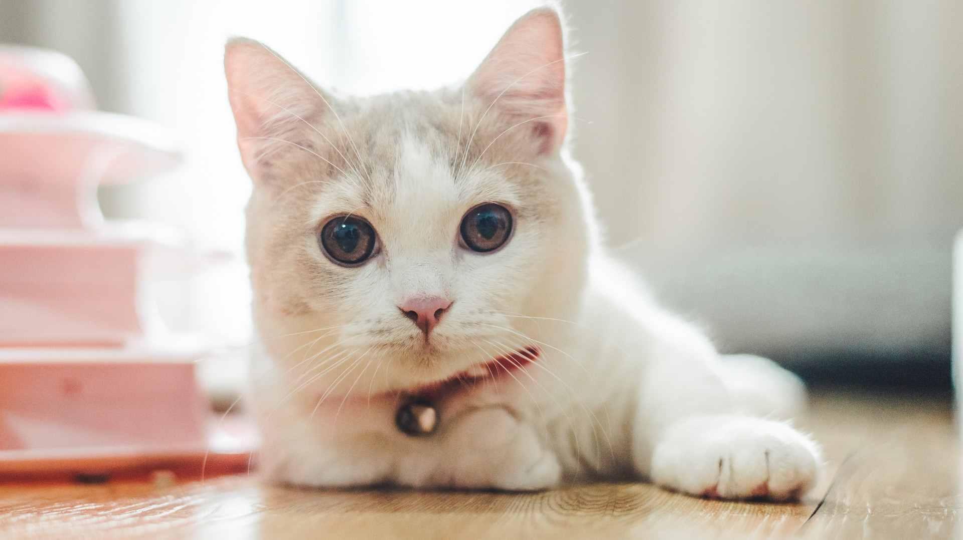 小奶猫多大开始认主人