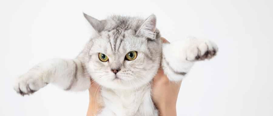 英国短毛猫的寿命大概是多少