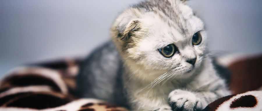 折耳猫什么姿势是犯病