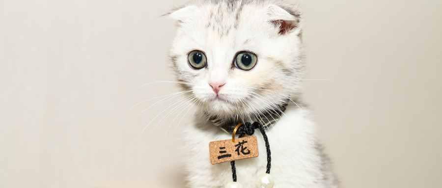 折耳猫为什么不能养