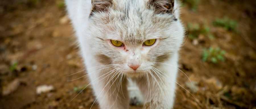 猫吃鱼对眼睛有什么好处