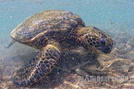 亚拉伯象龟