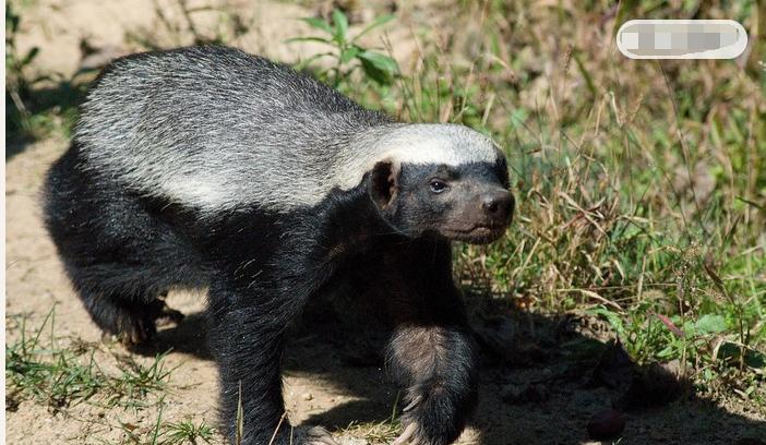 蜜獾为什么没动物园养