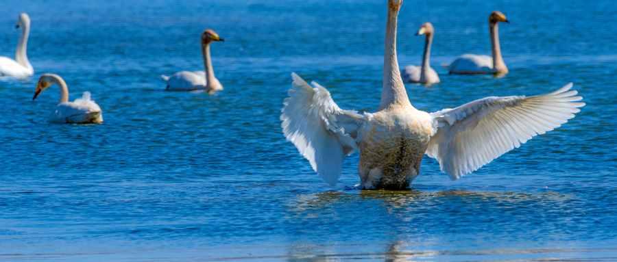 白天鹅代表什么爱情