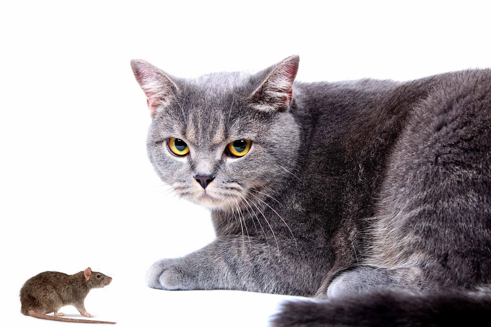 猫吃老鼠的原因是什么?