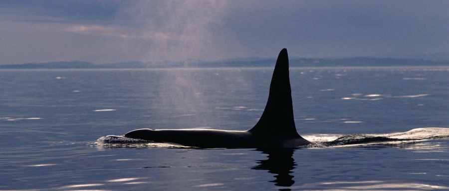 虎鲸为什么对人类友好