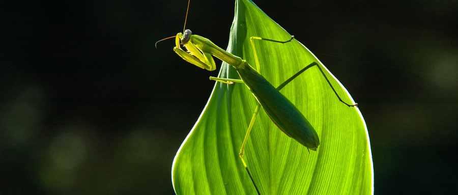 雌螳螂为什么吃自己配偶