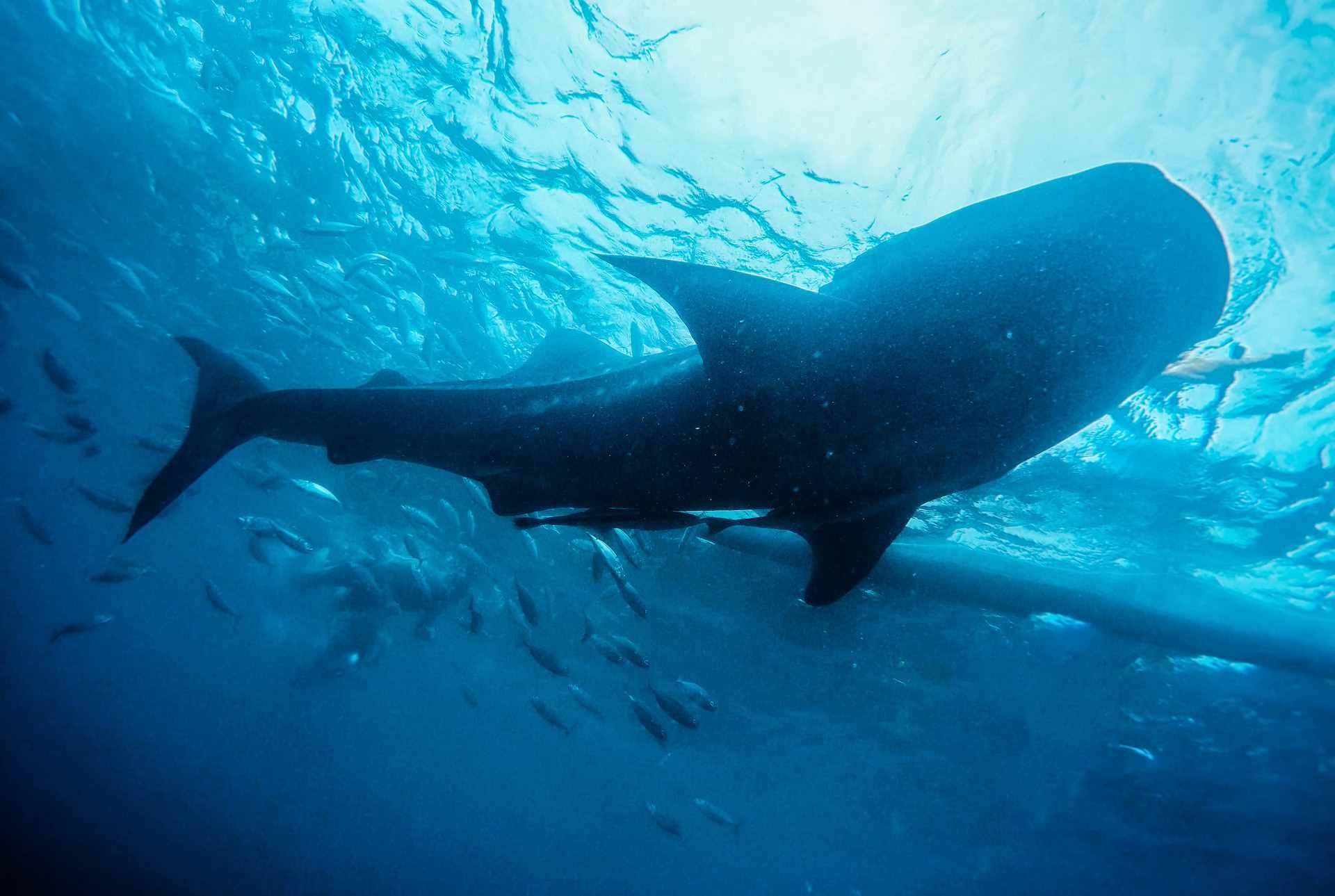 海洋里最大的鱼是什么鱼