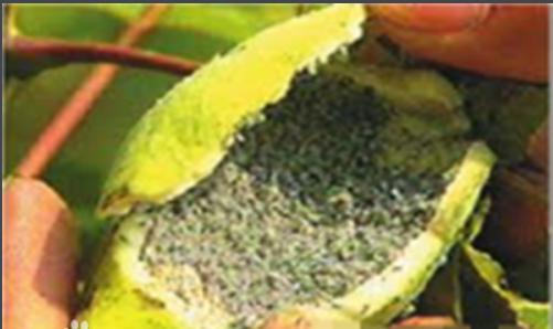 五倍子蚜虫对人类有益吗