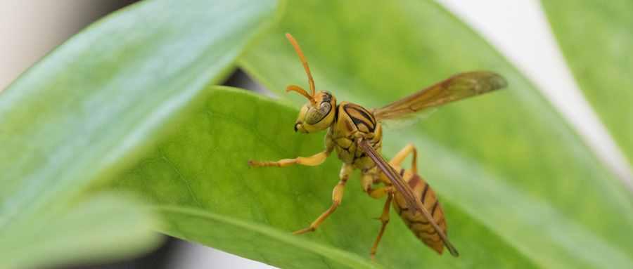 马蜂是益虫还是害虫呢
