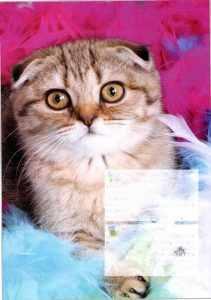 为什么养折耳猫很残忍