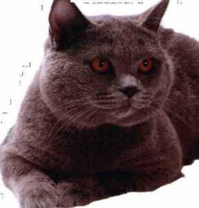 英国短毛猫的故事