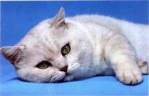 英短蓝猫和俄罗斯蓝猫有什么区别