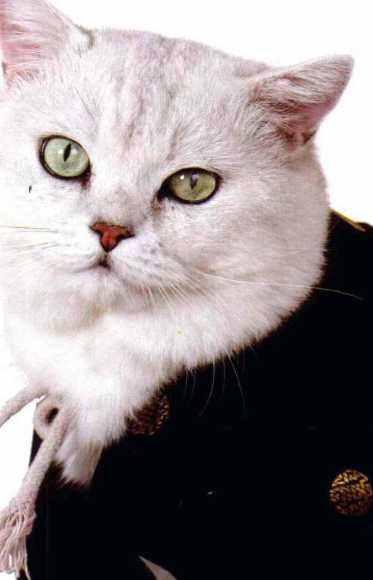 苏格兰折耳猫的模样